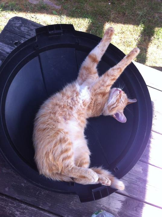 cat in a trashcan lid